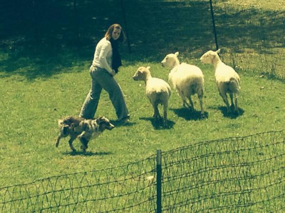 Lee-C hearding sheep with LB