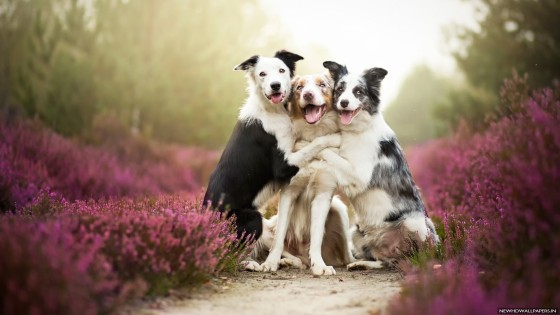 Border-Collies-Friends-Dogs-HD-Wallpaper